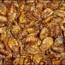 Boddingtons Silkworm Pupae